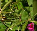 Katydid nymph - Scudderia