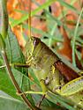 Bird Grasshopper - Schistocerca obscura