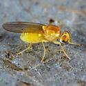 Tiny Yellow Fly - Gymnochiromyia
