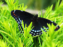 Unknown butterfly - Limenitis arthemis