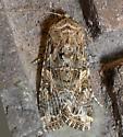 Western Yellowstriped Armyworm - Spodoptera praefica