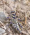 Dactylotum bicolor / rainbow grasshopper - Dactylotum bicolor - female