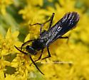 Wasp - Paracyphononyx funereus