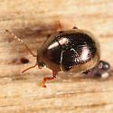 Chrysomelid - Spintherophyta globosa
