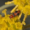 Attalus oregonensis