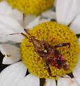 Neurocolpus nubilus (Clouded plant bug) - Neurocolpus