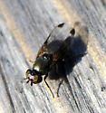 Metallic fly with dark wingtips - Euxesta notata - female