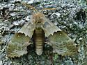 Id help needed - sphinx moth - Pachysphinx modesta - female