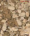 Trox Beetles under owl pellet - Trox