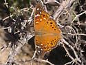 Empress Leilia Butterfly - Asterocampa leilia - male