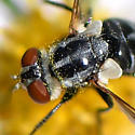 Stubby black fly on Symphyotrichum lanceolatum - Gymnoclytia