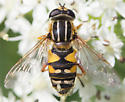 Syrphid - Helophilus neoaffinis - female
