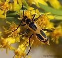 Soldier Beetle - Chauliognathus