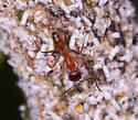 ant - Dorymyrmex bureni