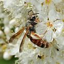 Bee - Andrena prunorum