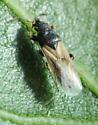 Lygaeid on Oak - Metopoplax ditomoides