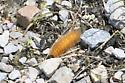 are ALL the following pics The Ohio endangered Unexpected Cycnia Moth? - Estigmene acrea