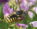 Perhaps Nomadinae - Anthidium manicatum - female