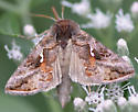 Moth nectaring on late boneset - Autographa precationis