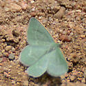 Emerald Moth - possible Mesothea incertata - Mesothea incertata