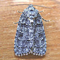 Which Dagger Moth? - Acronicta tristis