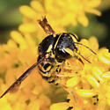 bee - Anthidiellum notatum