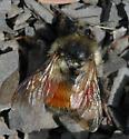 Bombus melanopygus - female