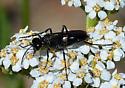 Wasp-like - female