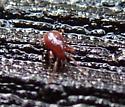 Reddish Mite