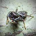 Tiny Jumper on the Siding - Sassacus vitis