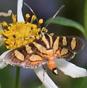 Red-Waisted Flannel Moth on Bidens alba - Syngamia florella