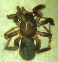 D. insularis female - Drassyllus insularis - female