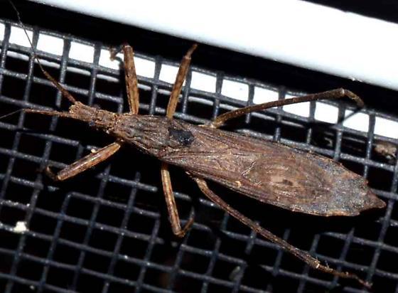 ? - Pygolampis pectoralis - female