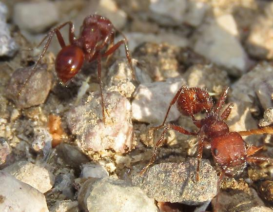 Pogonomyrmex occidentalis - female