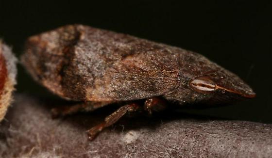 Grumpy II - Lepyronia angulifera