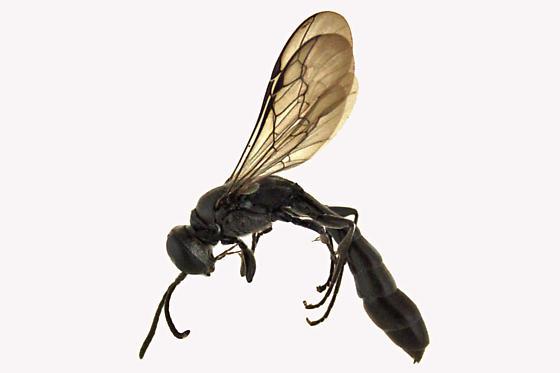 Ichneumon Wasp - Trypoxylon - male