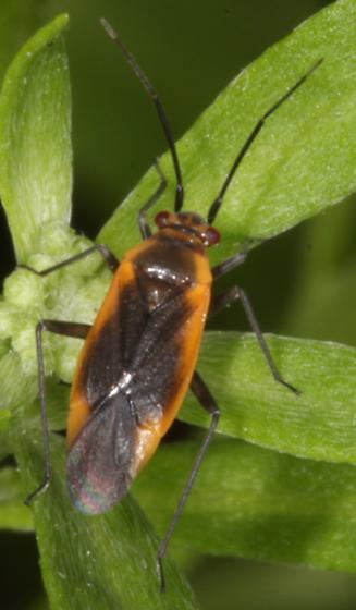 Black striped plant bug - Lopidea