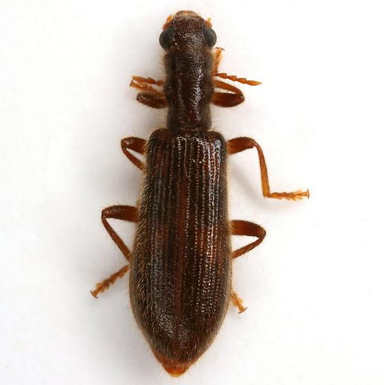 Cymatodera inornata (Say) - Cymatodera inornata