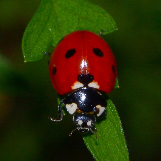 August slot for 7 spotted lady beetle in Louisiana - Coccinella septempunctata