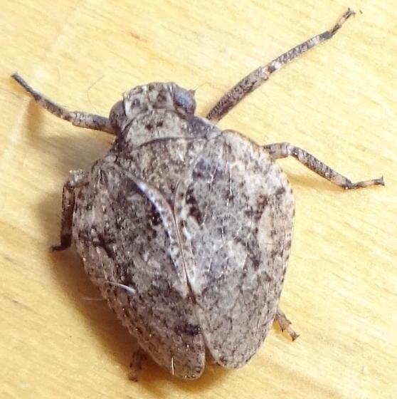 Heteroptera ? - Traxus fulvus
