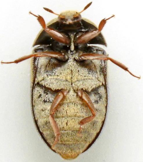 1019CC - Attagenus fasciatus