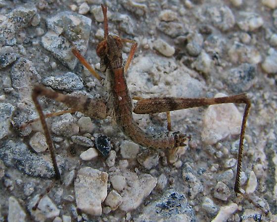 Chaparral Monkey Grasshopper - Morsea californica - male