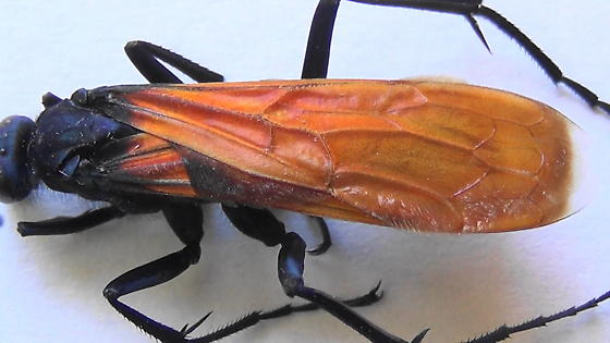 Handsome Tarantula Hawk (wings closed) - Pepsis thisbe - male