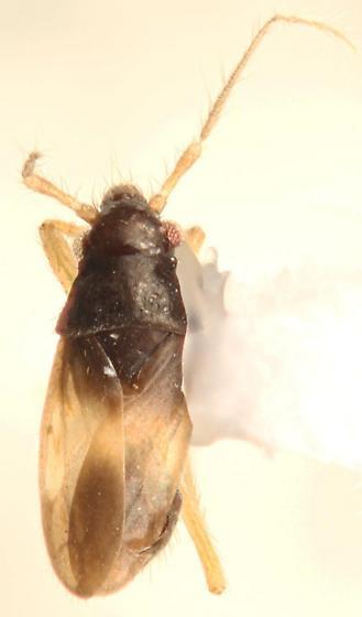 Ceratocombus vagans - specimen# SM0706047 - Ceratocombus vagans - male