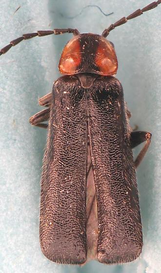 small soldier - Rhagonycha lineola