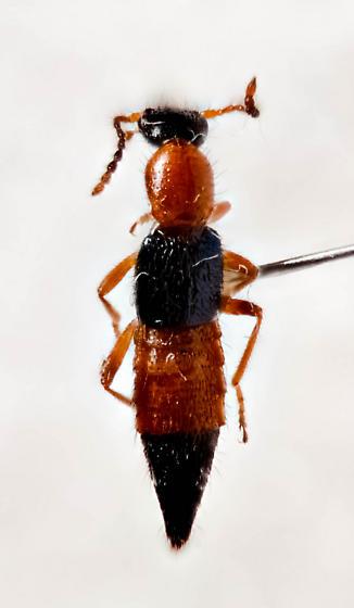 Gorgous Rove Beetle - Paederus