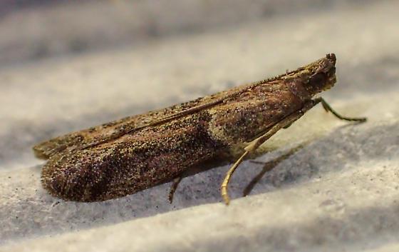 Phycitinae - Vitula serratilineella? - Ephestiodes gilvescentella