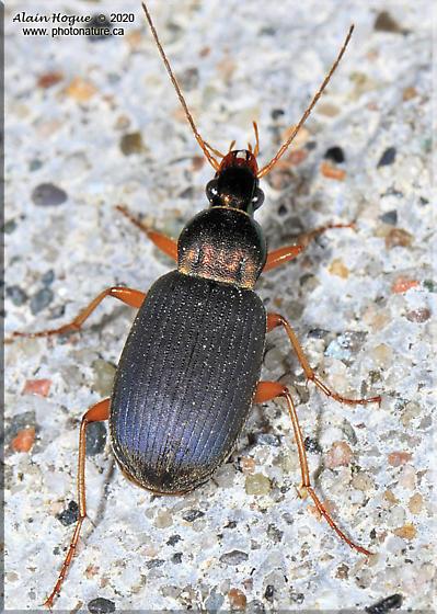 Carabidae - Chlaenius