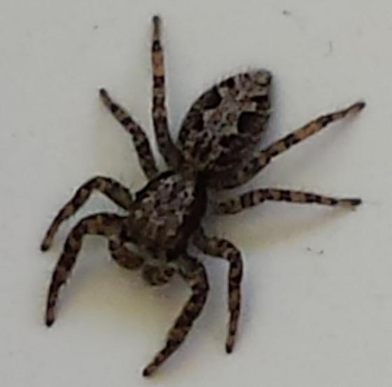 Spider - Platycryptus californicus