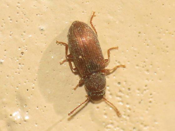 Hey v, found another - Berginus pumilus